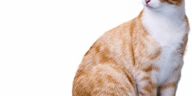 داء القطط وكيفية الوقاية منه. بقلم: خضر نيازي    موقع مقال